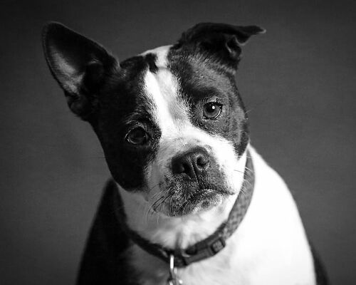 adorable-animal-black-and-white-canine